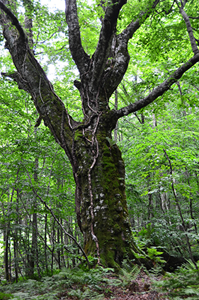 Takedai's 400-year-old beech